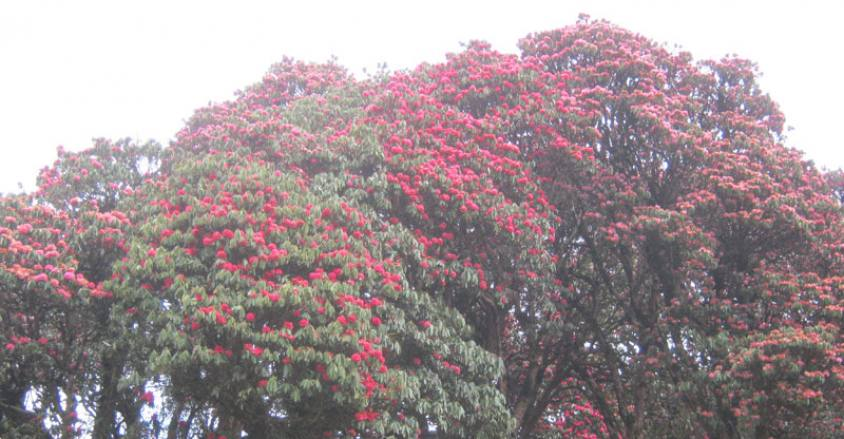 rhododendron flowers in Ghorepani.